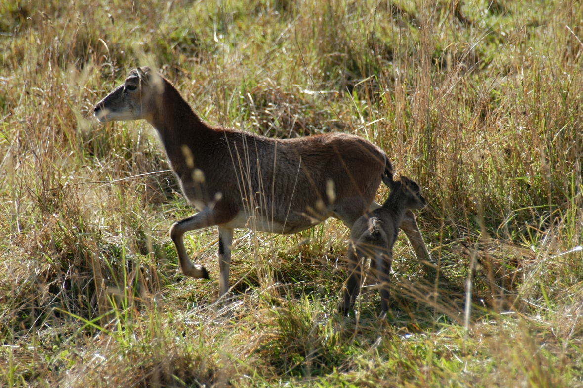 mouflon-and-baby