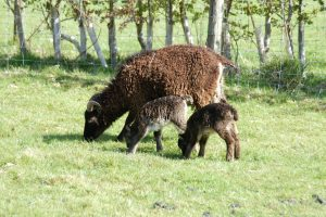 Soay ewe with twin lamb