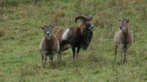 Mouflon ram and ewes