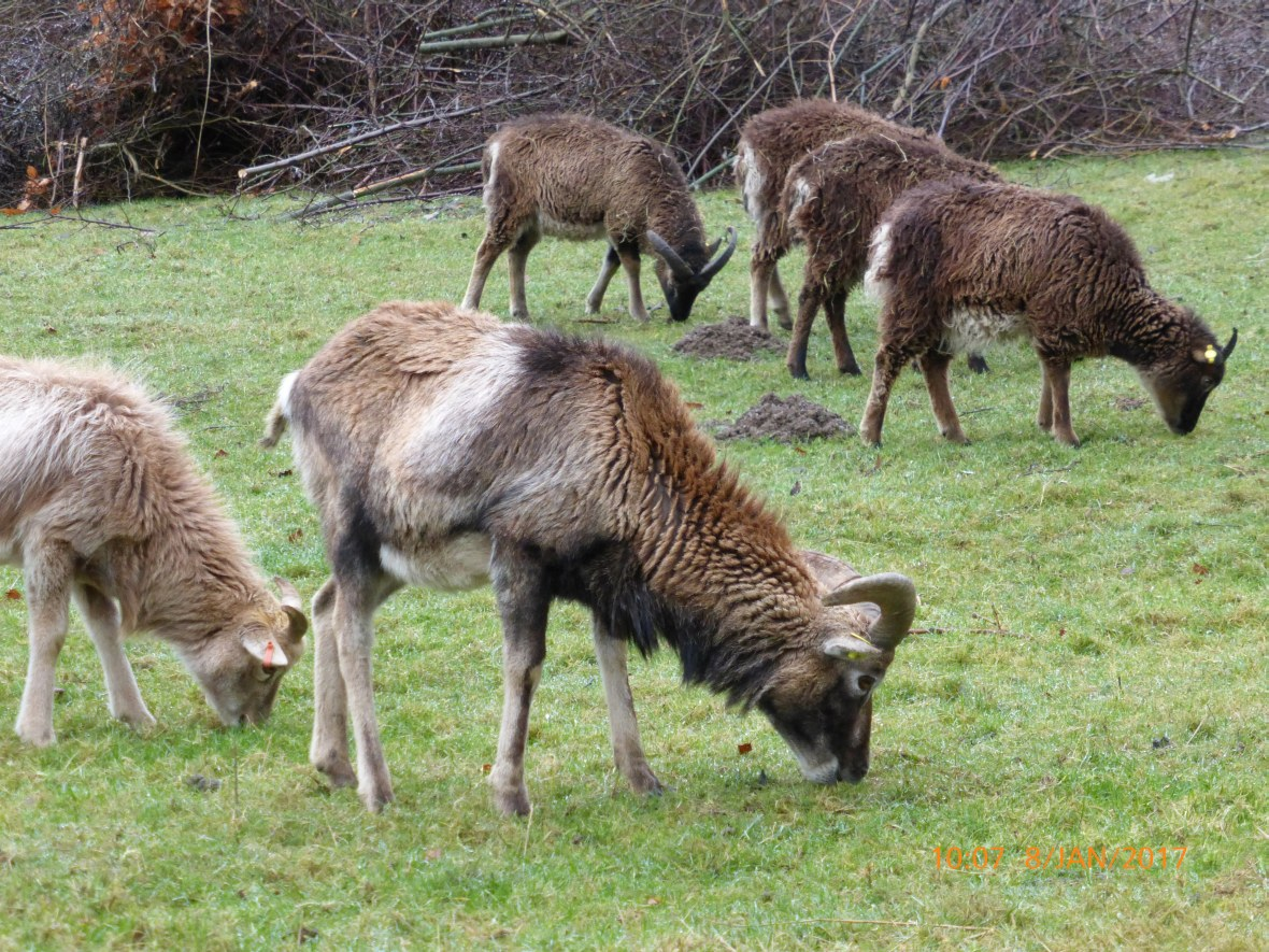 Mouflon and soay