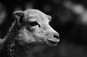 mouflon lamb